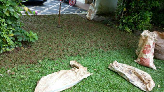 Petani Rumput Gajah Mini   Gratis Pasang+Ongkir+Pupuk