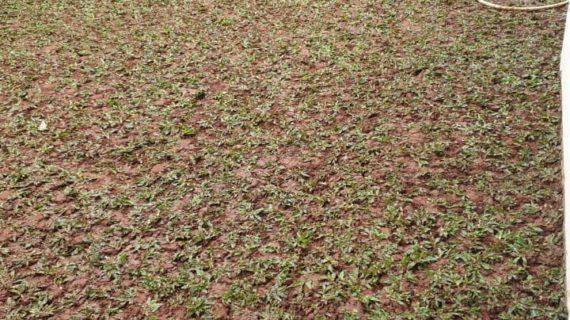 Petani Rumput Gajah Mini | Gratis Pasang+Ongkir+Pupuk